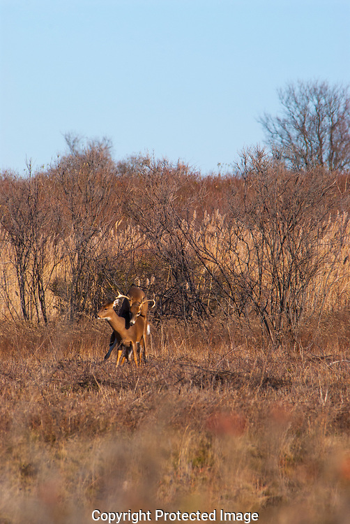 White Tailed Dear (Odocoileus virginianus) copulating during the  fall rut in Rhode Island on a blue sky day.