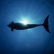 Bottlenose Dolphin, (Tursiops truncatus) Underwater in waters of the Gulf of Mexico. Honduras. Controlled Conditions.