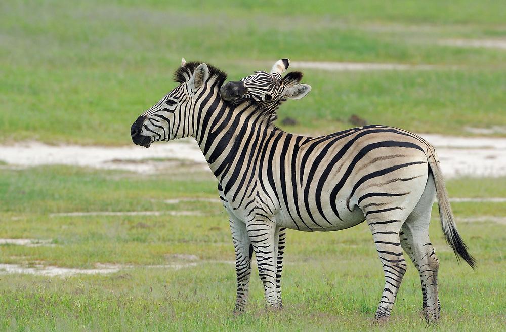 Zebra, Equus quagga sp., Hwange National Park, Zimbabwe