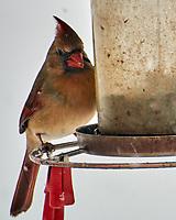 Northern Cardinal (Cardinalis cardinalis). Image taken with a Nikon N1V3 camera and 70-300 mm VR lens.