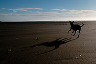 My dog Lilly running at Sunset on Pacific Beach, Washington