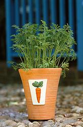 Carrots growing in a terracotta pot<br /> Daucus carota