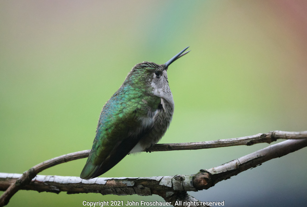 Anna's hummingbird perched on a branch photographed through a window, Tuesday, Jan. 26, 2021, in Tacoma. (Photo/John Froschauer)