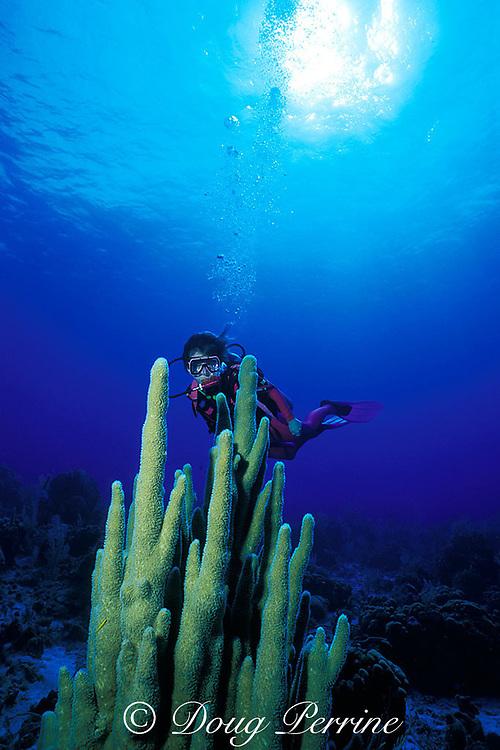scuba diver and pillar coral, Dendrogyra cylindrus,<br /> Hogsty Reef Atoll, Bahamas,<br /> ( Western Atlantic Ocean )  MR 161
