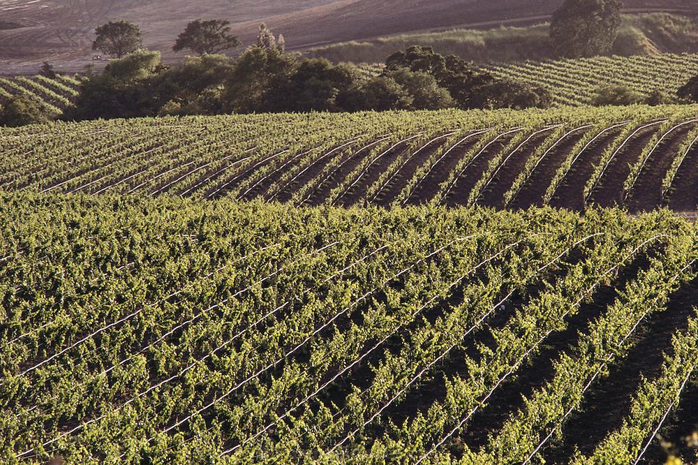 Napa Valley, California. Wine grape vineyards. Carneros region.