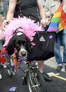 © Licensed to London News Pictures. 07/07/2012. London, UK Pepper the dog rides in a bicycle bag. Guests at the World Pride Procession in Central London today 7th July 2012. Despite reports of it's cancellation due to financial difficulty the scaled-down event went ahead after changes to its schedule. Photo credit : Stephen Simpson/LNP