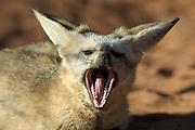 Bat-eared fox (Otocyon megalotis) | Das Gebiss von Löffelhunden (Otocyon megalotis) ist unter den Hundeartigen einmalig: es besteht aus bis zu 50 Zähnen. Im Unterschied zu den Zähnen der Verwandschaft sind sie klein und speziell dafür geeignet, die harten Chitinpanzer von Insekten und Skorpionen zu knacken. Ein Reptil, wie hier z.B. ein Gecko, wird bei Gelegenheit auch mal erbeutet, muss aber offenbar sehr ausgiebig gekaut werden. Solche größeren Beutetiere werden dann auch manchmal für die Jungen in den Bau gebracht. Diese Verhalten zeigen Löffelhunde sonst nicht. Bei den üblichen kleinen Beutetieren wäre das energetisch nicht sinnvoll. Dem Nachwuchs kommt dafür eine extra lange Säugeperiode zugute.