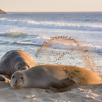 Elephant Seal Family, Piedras Blancas Elephant Seal Rookery, California
