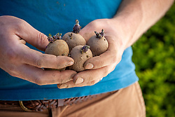 Hand holding chitted maincrop potatoes ready to plant out