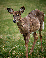 Scruffy Deer. Image taken with a Nikon D5 camera and 80-400 mm VRII lens (ISO 250, 400 mm, f/5.6, 1/400 sec).
