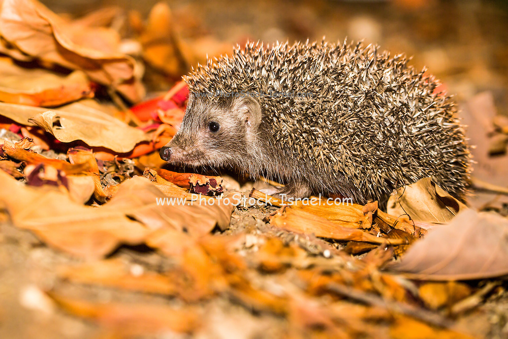 Eastern European hedgehog, Erinaceus concolor, Israel. The hedgehog is an omnivore and has been known to eat a wide range of invertebrates , but prefers earthworms, slugs and snails. It will also eat frogs, small reptiles, young birds and mice, carrion, bird eggs, acorns and berries. it is mainly a nocturnal animal