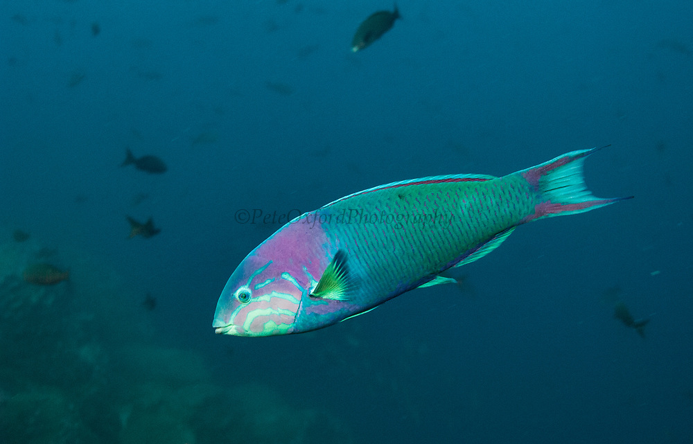 Sunset Wrasse (Thalassoma grammaticum)<br /> Off of Wolf Island<br /> GALAPAGOS ISLANDS<br /> ECUADOR.  South America<br /> Inhabit rocky, boulder strewn reefs and slopes. Found in entire archipelago but more common around Darwin and Wolf
