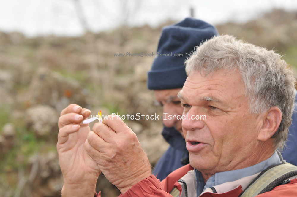Professor Avi Shmida (Botanist) explains the growth cycle of an Autumn Saffron (Colchicum brachyphyllum) Preparations from the roots and seeds of this plant are used to treat gout and rheumatism. They are also used as an emetic. Overdoses can lead to depression and violent purging of the gut. Photographed in Israel in November