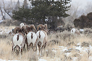 Rocky Mountain Bighorn Sheep (Ovis canadensis)group of rams