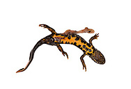 Great Crested Newt - Triturus cristatus