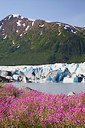 Wildflowers along the lake in front of Spencer Glacier, Chugach National Forest, Alaska.