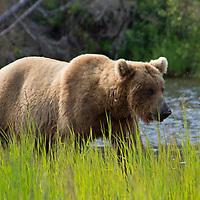 USA, Alaska, Katmai. Grizzly bear in tall grass by river.