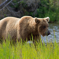 USA, Alaska, Katmai. Grizzly bear in tall grass by river.