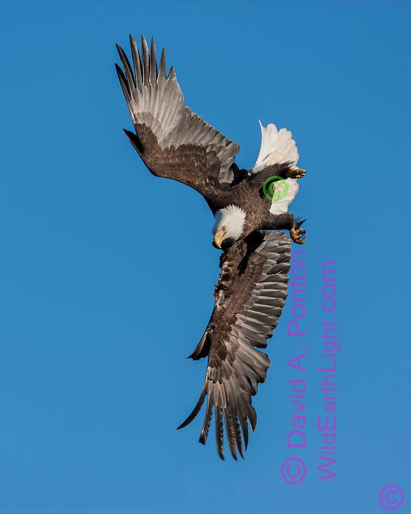 BALD EAGLE PRESSES THE LIMITS OF AERODYNAMICS IN A DIVE, BLUE SKY BACKGROUND, © David A. Ponton