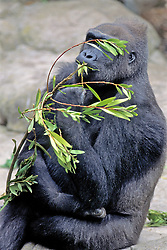 Gorilla Eating, Franklin Park Zoo
