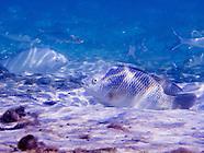 Tilapia, Underwater