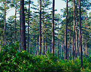 Southern pine forest in Greene County north of Eutaw, Alabama.