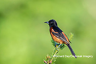 01618-01716 Orchard Oriole (Icterus spurius) male in spruce tree Marion Co. IL