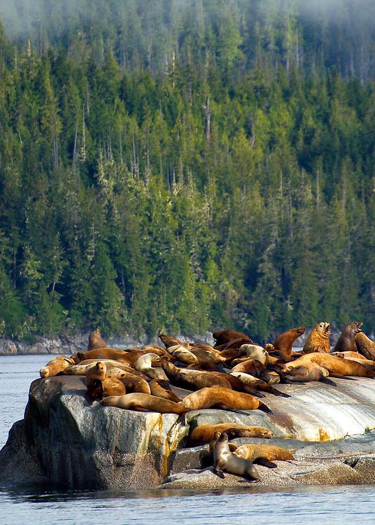 Alaska. SE. Inside Passage. Stellar sea lions bathe in sunlight on the rock outcroppings.