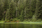 Dense evergreen growth in temperate rainforest, alaska