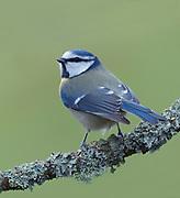 Blue tit, Parus Caeruleus; on perch in garden, Lancashire, UK