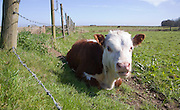 Calf in field in herd of pure Hereford cattle at Boyton marshes, Suffolk, England
