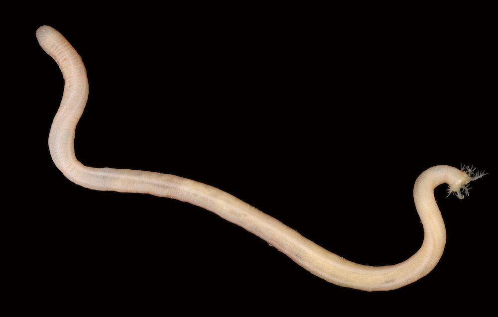 Lapidoplax digitata