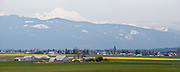 Mount Baker rises above Skagit River Delta farm buildings and cultivated yellow daffodil (Narcissus) fields in Washington, USA.