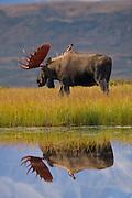 Moose (Alaska-Yukon), Alces alces gigas; bull, antlers, autumn, closeup, reflection, tundra pond; largest subspecies of moose; Denali National Park, Alaska, ©Craig Brandt, all rights reserved; brandt@mtaonline.net