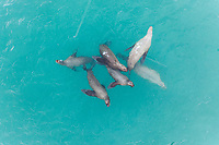 Aerial view of seals playing in sea, Alaska, USA.
