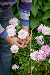 Staking asters using garden twine and canes.