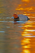 Redhead Duck, Aythya americana, male, sunset reflection in water, Lakewood, Colorado aquatic-birds close-ups details fowl free independence natural-world ornithology untamed water waterfowl web-footed wild Zoology