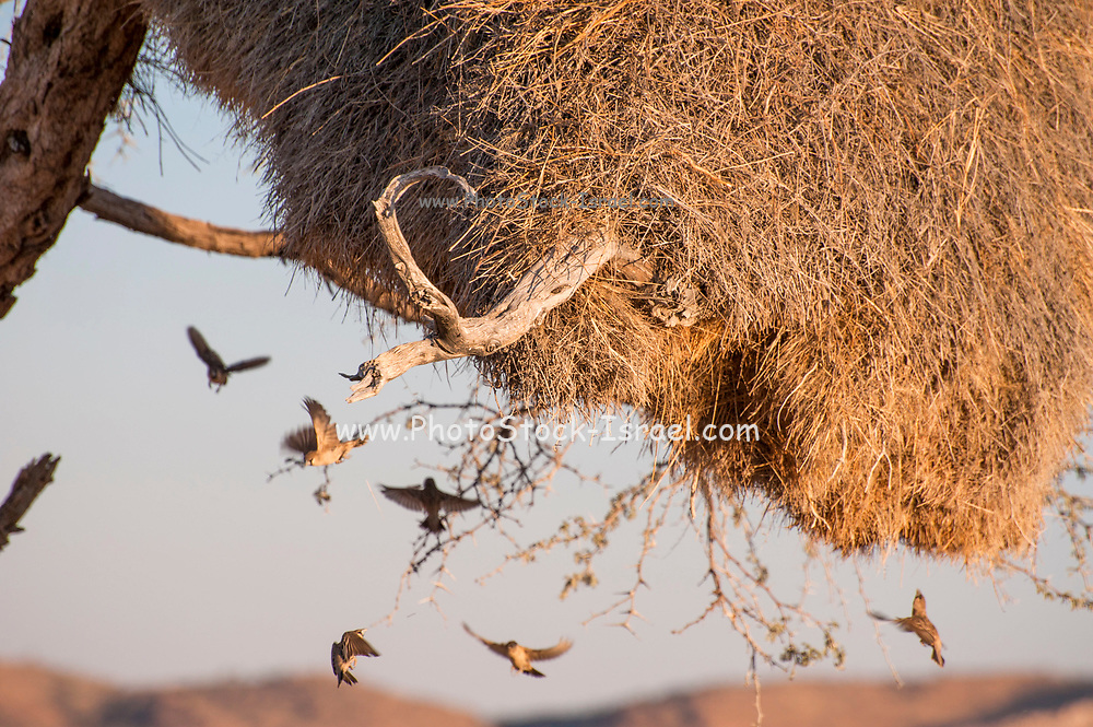 Sociable weavers (Philetairus socius) at their nest. The sociable weaver builds large communal nests. Up to 400 birds can inhabit a single nest, which provides shelter from the extreme temperatures of their savannah habitat. The nest is thatched (not woven) from grass, straw and twigs. Sociable weaver birds are found in the semi-arid savannah regions of southern Africa Photographed in Namibia