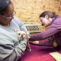 Tillise Edaakie, left, holds her chihuahua Chase as veterinarian Dr. Megan Hull, right, vaccinates him Monday, Oct. 28 at the 2019 Fall Veterinary Clinic in Zuni Pueblo. The four day clinic is run by volunteers and provides services from vaccinations to spay and neutering.