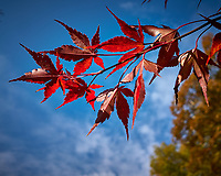 Japanese Maple. Image taken with a Leica CL camera and 18 mm f/2.8 lens