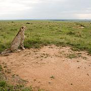 Cheetah (Acinonyx jubatus) lone male searching the Serengeti Plains. Masai Mara Game Reserve, Kenya, Africa