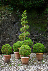 Terracotta pots with sprial and ball topiary. Buxus sempervirens - Common box