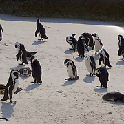 Africa Penguin, Boulders Penguin Colony in Simons Town, South Africa.