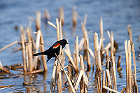 Male Red-winged Blackbird (Agelaius phoeniceus) perched in cattails, French Basin trail, Annapolis Royal, Nova Scotia, Canada,