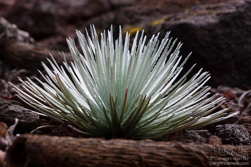 """Haleakalā silversword (Argyroxiphium sandwicense subsp. macrocephalum) grows in volcanic cinder on the slope of the dormant Haleakalā volcano on the Hawaiian island of Maui. The rare Haleakalā silversword, which is considered threatened, grows at elevations above 6,900 feet (2,100 meters). The plant can have 40 or more sword-like succulent leaves covered with silver hairs, which are strong enough to resist wind. The plant is also specially adapted to the extreme high-altitude temperatures. The leaves and hairs are arranged in such a way to focus sunlight, raising the plant's temperature by as much as 36 degrees Fahrenheit (20 degrees Celcius). In Hawaiian, the plant is referred to as ʻāhinahina, which means """"very gray."""""""