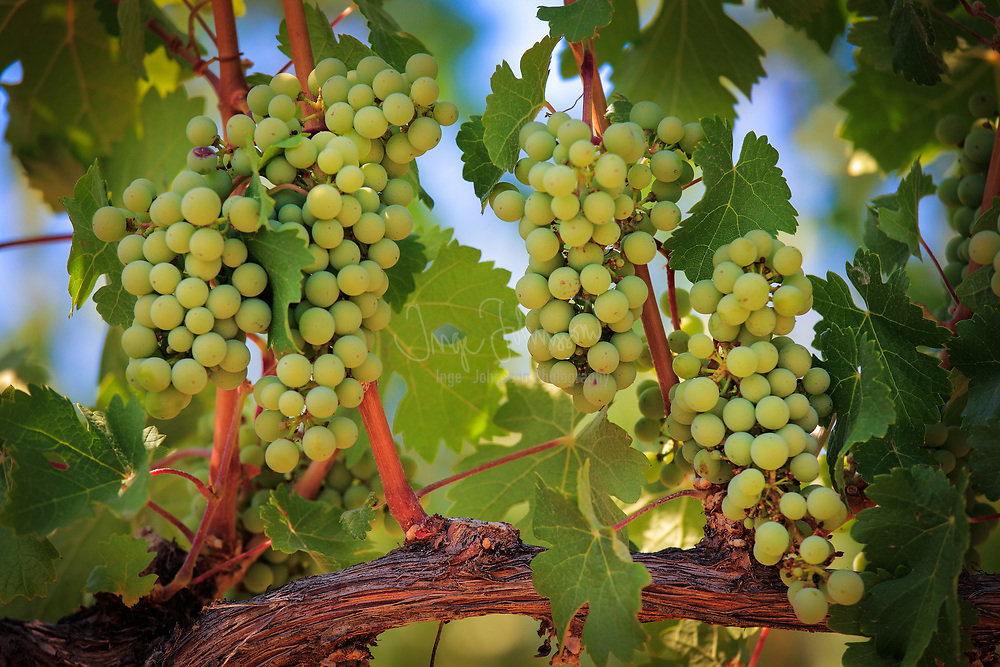 Grapes on the vine at Vin du Lac winery in Chelan, Washington