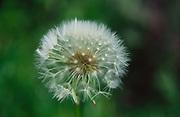 ADFTM3 Dandelion seed clock