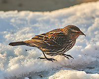 Female Red-winged Blackbird. Image taken with a Nikon D5 camera and 600 mm f/4 VRII lens