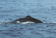Sperm Whale Physeter macrocephalus Length 16-20m Huge, distinctive whale with large, bulbous head. Tail is raised clear of water prior to deep dive. Dives to 2,000m or more in search of giant squid and sharks. Females live in social groups. Adult is blackish grey with whitish scars from fights and violent encounters with prey. Head accounts for roughly 1/3 of body length and mass. Lower jaw is slender and armed with sharp teeth. Dorsal fin is absent but note dorsal 'hump' and series of knobbly lumps. Flippers are small while tail is large. Has a single blowhole (baleen whales have 2); sited at front of head and angled slightly forward and to left.
