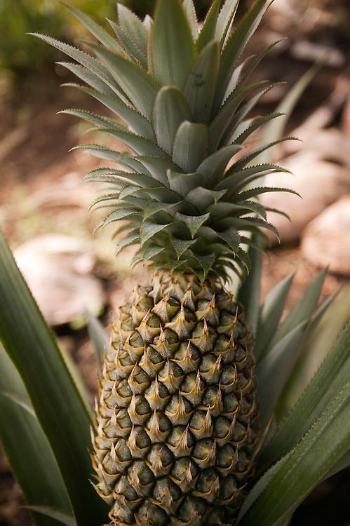 Huahine, French Polynesia, Pineapple